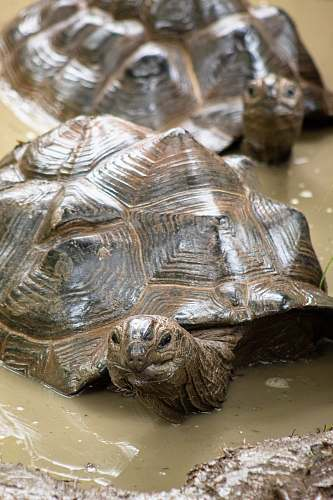 reptile brown turtles on puddle sea life