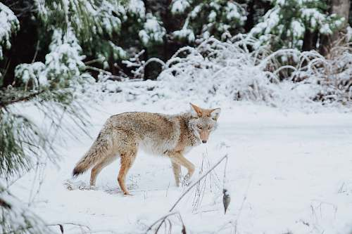 canine brown wolf walking on snow coyote