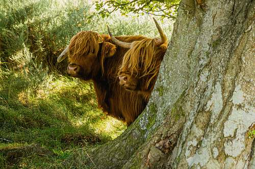 cattle brown yak hiding on green tree cow