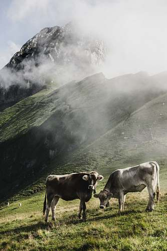 cattle cattle in green field viewing moutain cow