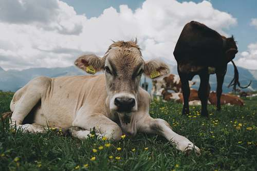 cow cattle lying on grass mammal