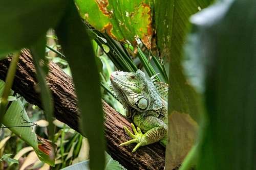 reptile chameleon on tree branch lizard