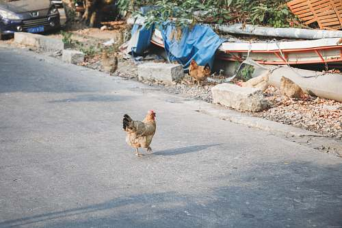 bird chicken on road near chicken chicken