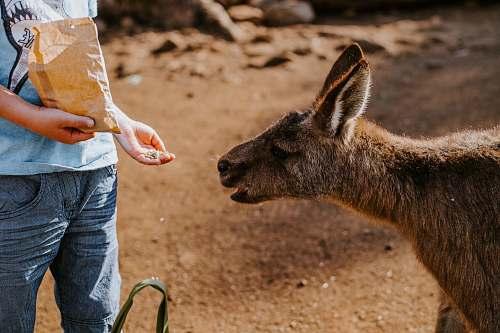 mammal child feeding animal kangaroo