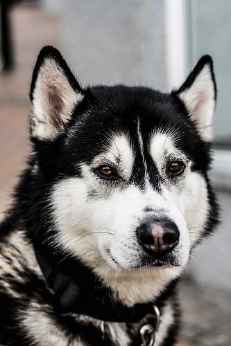 dog close up photo of black and white Siberian husky dog pet