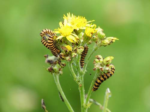 bee close-up photo of black and yellow caterpillars on yellow petaled flower insect