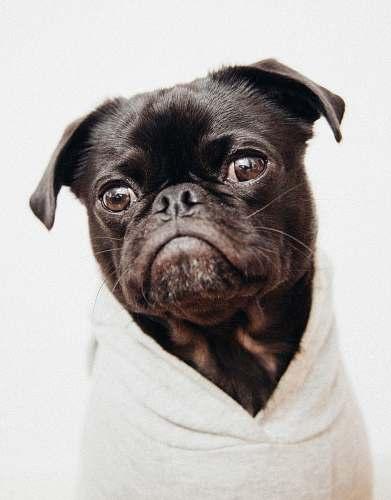 dog close-up photo of black pug pug