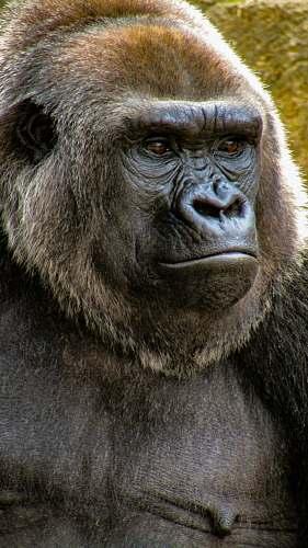 ape close-up photo of gorilla wildlife