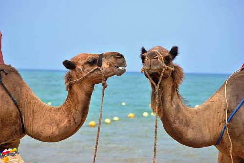 mammal close up photo of two brown camels in front body of water camel