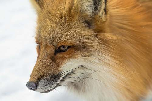 fox close-up photography of brown fox wildlife