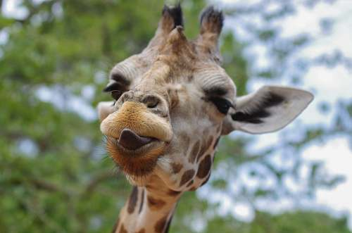 wildlife close-up photography of giraffe with tongue out giraffe