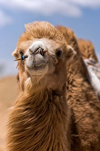 photo mammal closeup photo of brown camel during daytime camel free for commercial use images