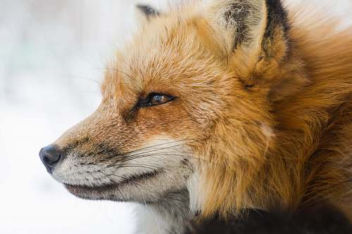 fox closeup photo of fox wildlife