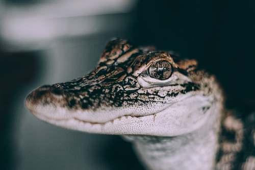 reptile closeup photo of gray and black crocodile crocodile