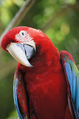 photo bird closeup photo of scarlet macaw parrot free for commercial use images
