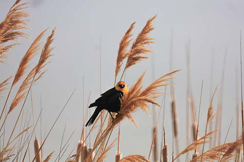 bird closeup photography of black-and-yellow bird during daytime grass