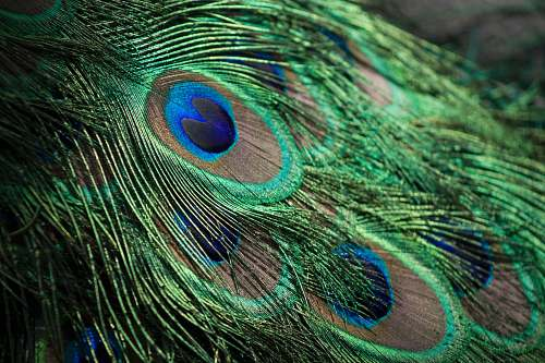 bird closeup photography of green, gray, and blue Peacock feathers peacock