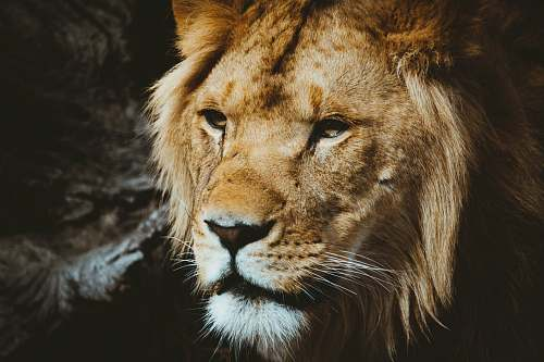 lion closeup photography of lion wildlife
