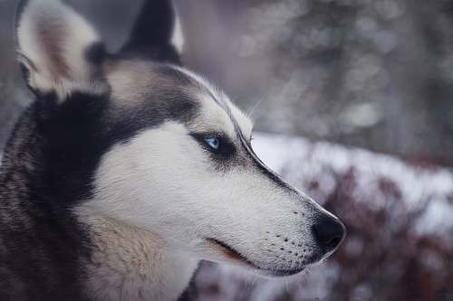 dog closeup photography of white and black wolf husky