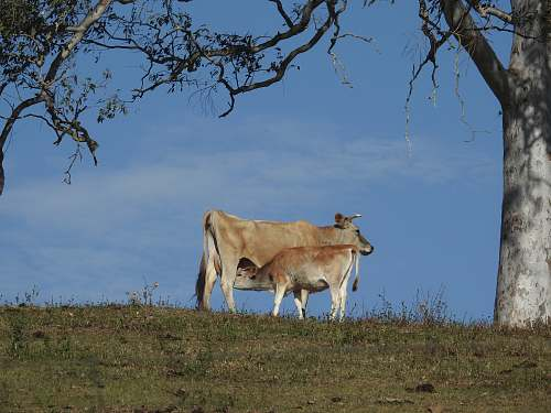 cow cow and calf on grass cattle