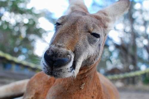 kangaroo depth of field photograph of kangaroo mammal