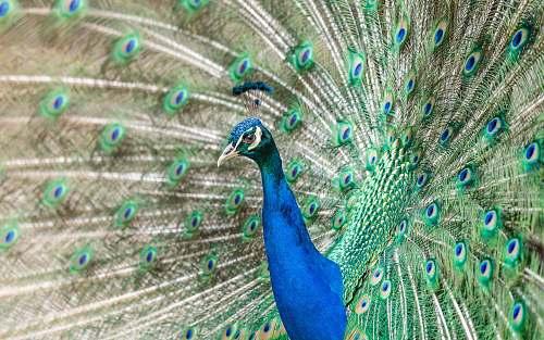 bird depth photography of blue and green peacock peacock