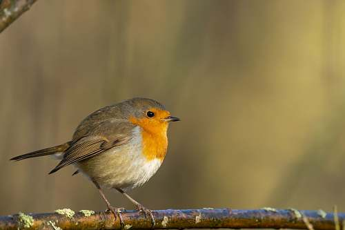 bird European robin on tree branch robin