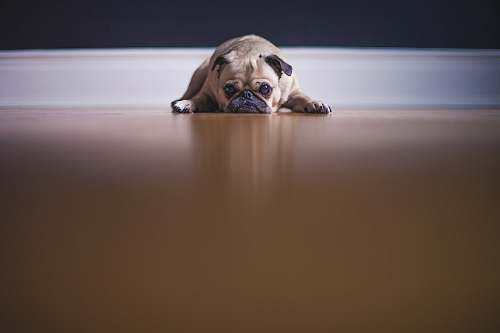 dog fawn pug lying on floor pet