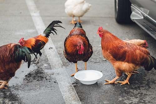 bird five assorted-color chickens chicken