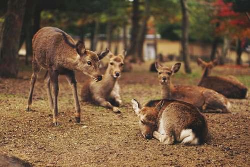 wildlife five brown deer deer