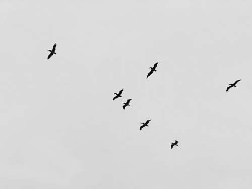 black-and-white flight of birds flying