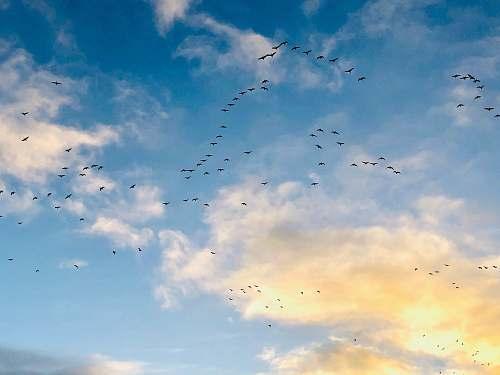 bird flock of birds of flight flock