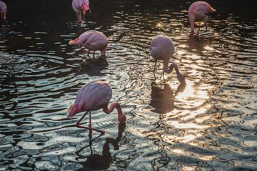 bird flock of flamingos drinking water flamingo