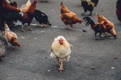 bird flock on chicken on road chicken