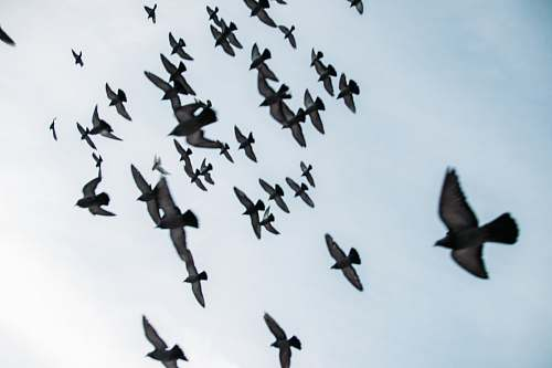 photo flock flocks of grey birds flying during daytime bird free for commercial use images