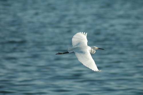 photo waterfowl flying white bird above body of water ardeidae free for commercial use images