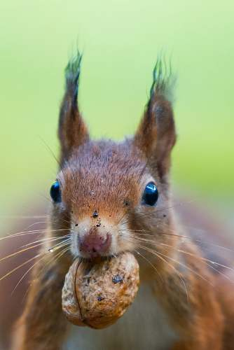 squirrel focus photo of squirrel bating a brown walnut rodent
