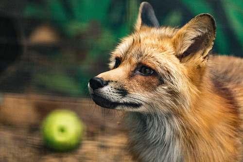 fox fox near green fruit wildlife