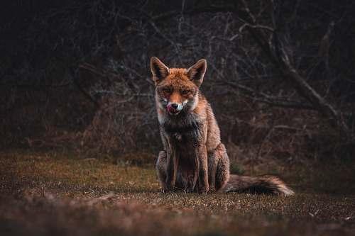 fox fox on grass field wildlife