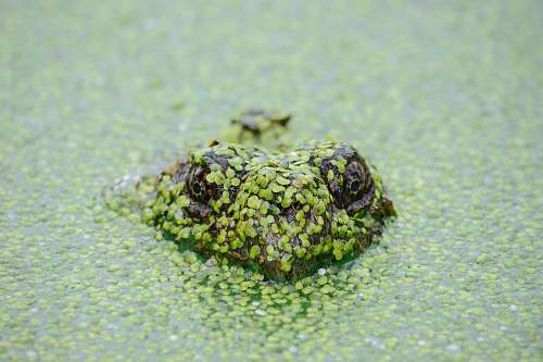 green frog soak on water nature