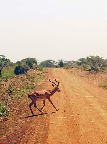 mammal gazelle on dirt road antelope
