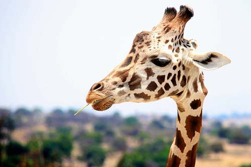 wildlife giraffe eating during daytime giraffe