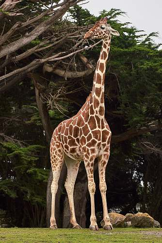 photo giraffe giraffe standing near tree at daytime wildlife free for commercial use images