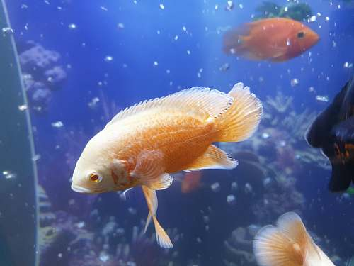 photo aquatic gold and white fish water free for commercial use images