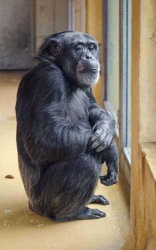 ape gorilla inside room mammal