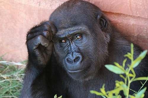 monkey Gorilla ape