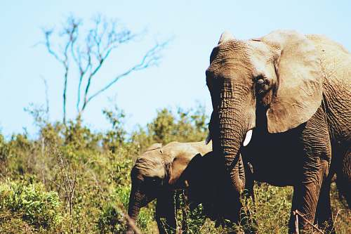 elephant gray African elephant with calf nature