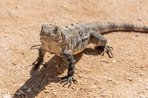 reptile gray and brown bearded dragon lizard