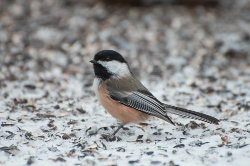 bird gray and pink bird on snow covered land finch