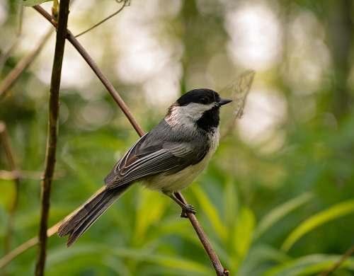 bird gray and white humming bird standing on branch finch